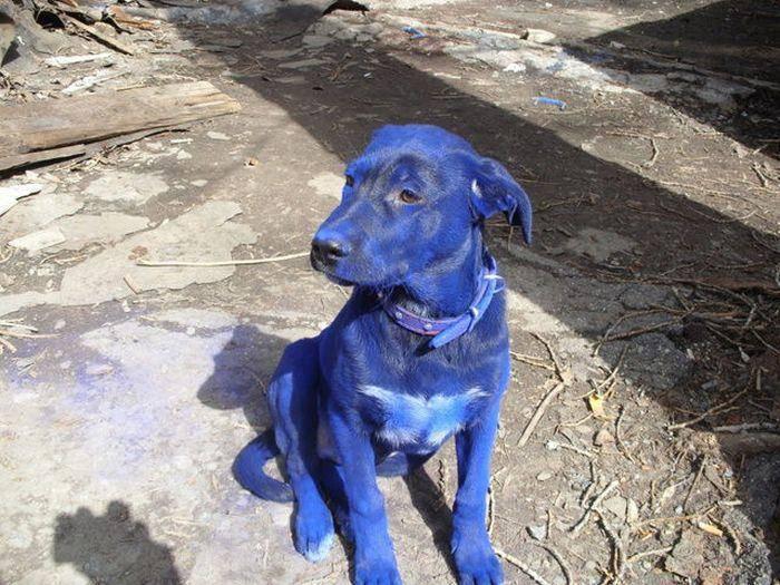 Niebieski pies 4