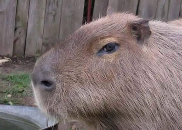 Udomowiona kapibara 59