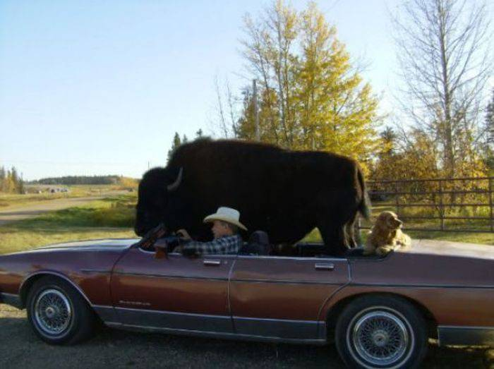 Udomowiony bizon 9