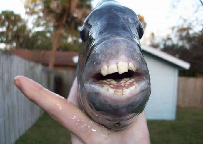 Sheepshead: zębata ryba 1
