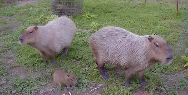 Udomowiona kapibara 57