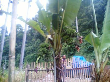 67819280eb0fcdb027b61416fb6bacd0e2b5d04 Pohon pisang bertandan 4 di Sayur Matinggi